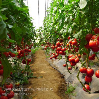 供应荷兰硬粉f1-高产番茄种子