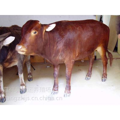 农村现在养一头牛能赚多少钱
