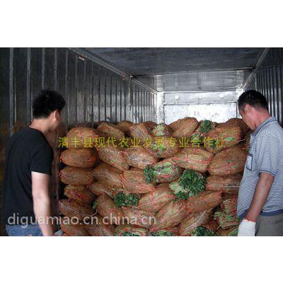 河南濮阳现代农业高产红薯苗基地 优质脱毒地瓜苗出售