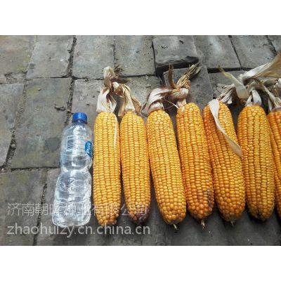 供应高产玉米种子——永誉农大95