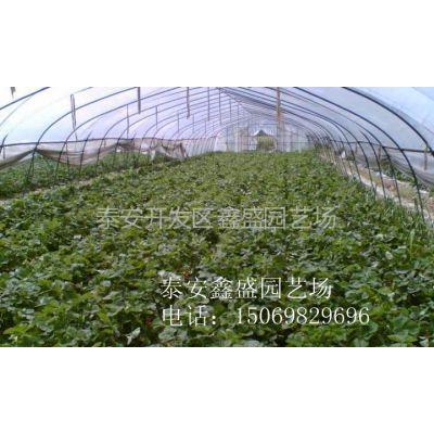 供应草莓苗|草莓苗基地|批发草莓苗|哪里有草莓苗|