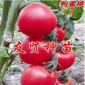 供应优良西红柿种子/番茄种子新品种/水果西红柿/寿光友贤