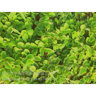 全国热销红颜草莓苗 奶油草莓苗 四季全明星品种齐全成活率高现起现卖