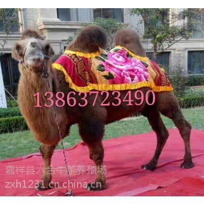 观赏双峰骆驼 景区骆驼拍照 嘉祥县六合牛羊养殖场经营