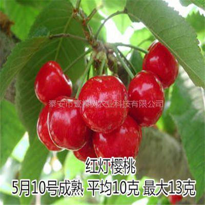 红灯樱桃苗 大红樱桃树苗 矮化 果大高产 樱桃苗木