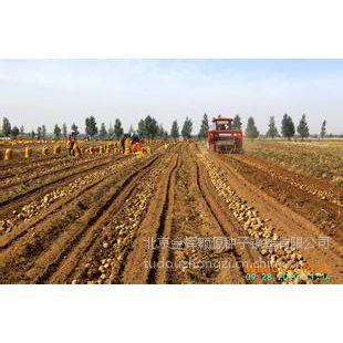 供应内蒙土豆种子培育基地土豆种子价格