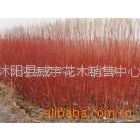 供应出售沭阳花木:红瑞木