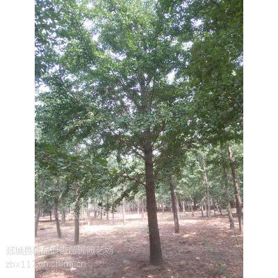 供应优质大规格银杏树(直径35-40公分)银杏树价格低