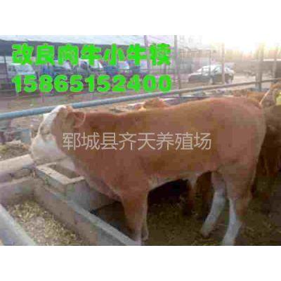 供应山东规模的正规养牛场出售黄牛犊吗
