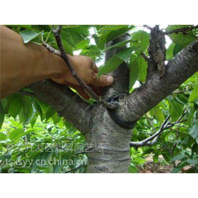泰安樱桃树、旭昇园艺场、占地樱桃树