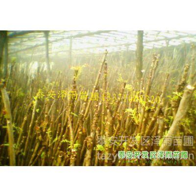 供应哪里有香椿苗最多,哪里有大棚种香椿苗,香椿苗哪里