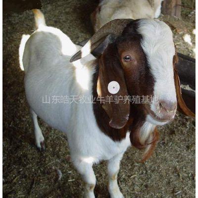 供应福建波尔山羊种羊多少钱°波尔山羊育肥羊多少钱一只