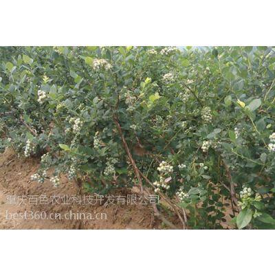 四川蓝莓苗,百色农业,蓝莓苗幼苗