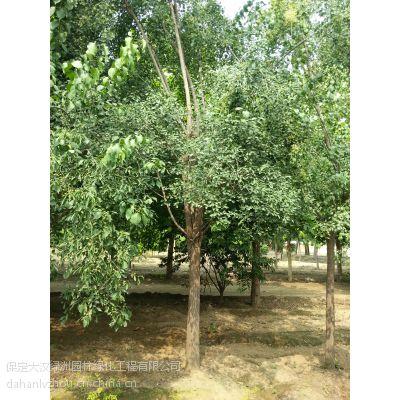 河北保定丝棉木丨丝棉木供应