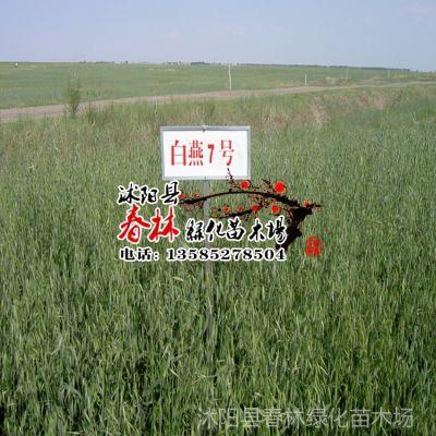 供应牧草种子 燕麦种子 铃铛麦种子 耐寒耐旱 南方北方专用 包发芽率
