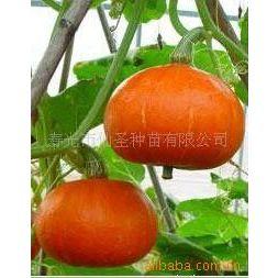 供应寿光蔬菜种子—红蜜南瓜种子