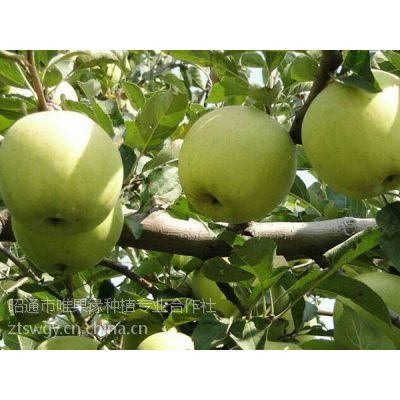 供应云南昭通苹果青苹果青香蕉青金冠精品果10斤吃情箱