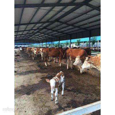 购买优质肉牛 西门塔尔牛到明泰牧场