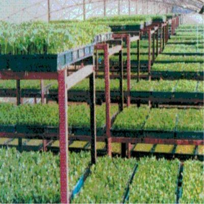 供应无土栽培香椿芽技术 香椿芽种子