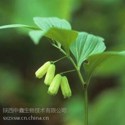 陕西中鑫生物供应黄精提取物,黄精10:1植物提取物