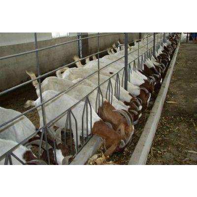 供应养羊的经济效益圈养羊养殖场图片