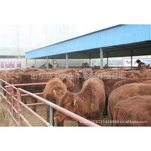 供应现在农村养牛还赚钱吗,吉林养牛有没有补贴