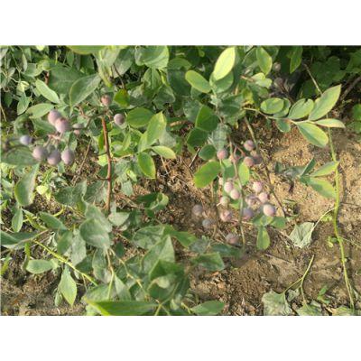 蓝莓苗基地哪的好?泰安佳丽园艺大量供应优质高产蓝莓苗 价格优惠