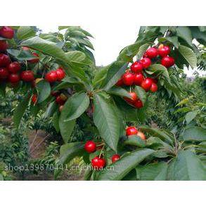 志森园艺红妃樱桃苗价格 适合南方种植樱桃苗品种