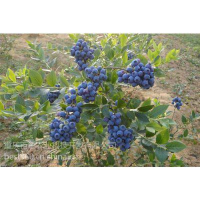 百色农业_成都蓝莓苗_哪有蓝莓苗生产