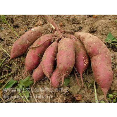 河南红薯苗基地 高产红薯苗商薯19 濮阳现代农业