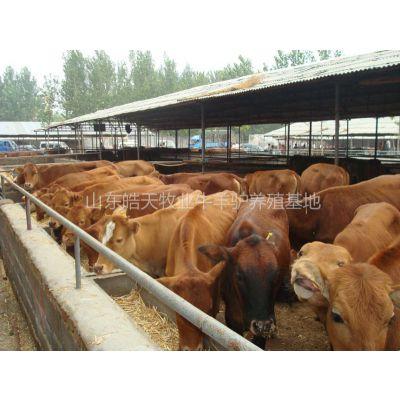 供应大量供应纯种小尾寒羊 定点的鲁西黄牛养殖场皓天牧业养殖网