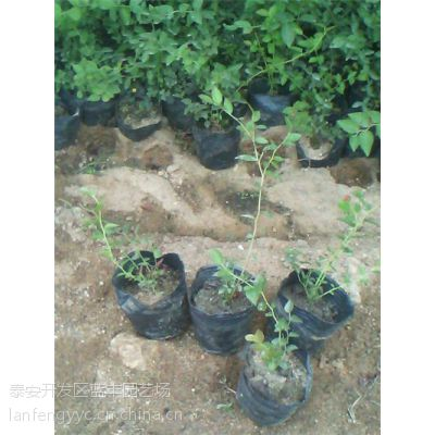 蓝莓苗、优质苗木基地、湖南蓝莓苗