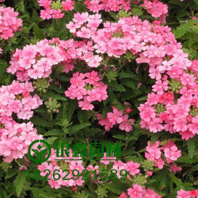 批发庭院观花植物美女樱种子,地被观赏花卉种子、品种齐全易成活。适合庭院种植观赏,花圃苗圃生产园林绿化