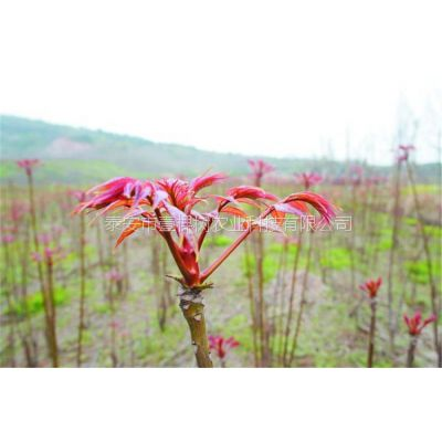泰安占地香椿苗 2公分占地红油香椿基地
