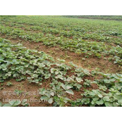石河子白草莓苗|泰安龙泽苗木(图)|白草莓苗栽培