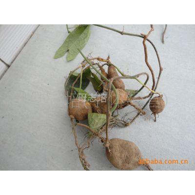 供应原药材金果榄地苦胆山慈菇