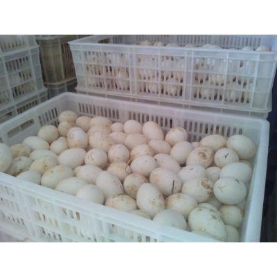 供应鹅蛋 种鹅蛋价格 鹅蛋多少钱一个