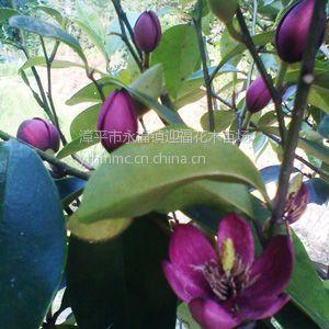 供应【墨紫含笑 白杆】 新品种 绿植盆栽 香蕉味花卉 园艺用品 鲜花苗