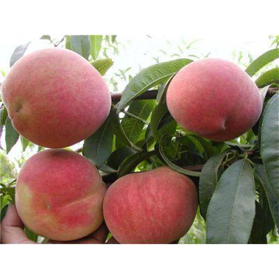 桃树苗多少钱一棵?泰安润佳农业大量供应优质桃树苗