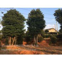 供应湖南10-15公分原生罗汉松树价格20公分造型树桩盆景