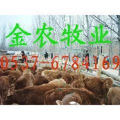 供应波尔山羊种牛养殖小尾寒羊羊羔价格黑山羊种羊价格山东金农肉羊养殖场