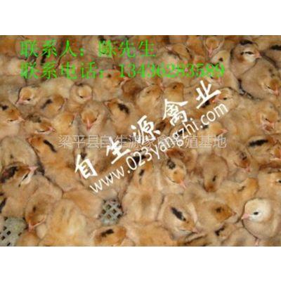 供应四川内江:茶地养土鸡 生态好收益,内江优质土鸡苗