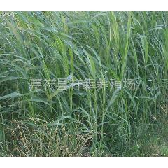 供应牧草种子,墨西哥玉米,高丹草,冬麦。苏丹草