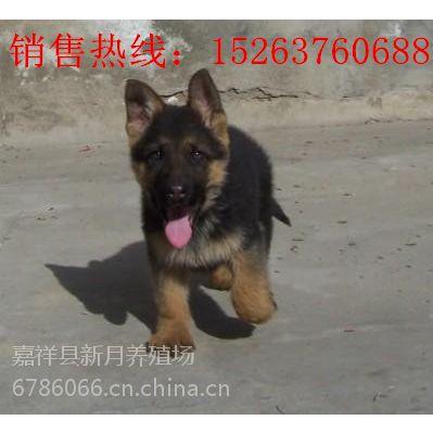 河南信阳哪里有卖德国牧羊犬幼犬的-纯种狼狗幼崽价格