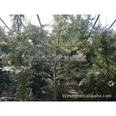 供应人工培植优质东北红豆杉小苗20cm-220cm 欢迎选购