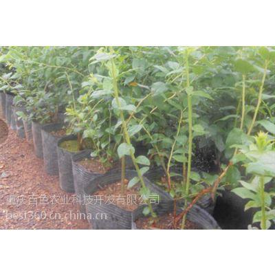 九龙坡蓝莓盆景|百色农业|蓝莓盆景