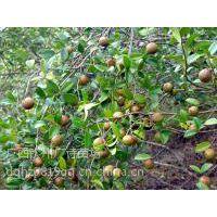 广西哪里有正宗良种岑溪软枝油茶苗