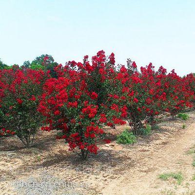 大量供应红火箭 红火球紫薇 进口紫薇苗木 喜欢来电咨询