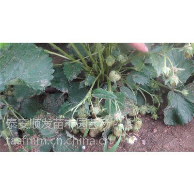 山东全明星草莓栽子批发价格,品种纯,质量好