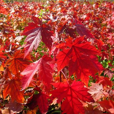 常年供应美国红枫 美国红枫小苗 自产自销 基地种植 量大优惠 行道树绿化